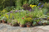 Display of terracotta pots, Delphinium New Millenium Mix, Helipterum roseum 'Pierrot', Allium nigrum, poppies, sempervivum, echeveria, petunia, bacopa, echium, agave, pelargonium, cotinus, pebble pavi...