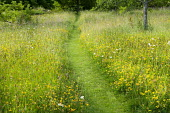 Mown path through wildflower meadow, Rhinanthus minor
