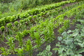 Rows of lettuces and vegetables in kitchen garden, brassicas under netting protection