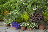 Display of pots on patio, Erigeron karvinskianus, Carex elata 'Aurea', Papaver rhoeas Mother of Pearl Group, Erysimum x marshallii, Paulownia tomentosa, Ozothamnus ledifolius, Silene coeli-rosa 'Blue...