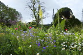 Yew topiary, Leucanthemum vulgare, geraniums, poppies, verbascum
