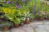 Succulents in containers, aeoniums, Delphinium New Millenium Mix, Erigeron karvinskianus