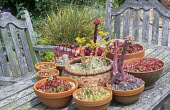 Sempervivums in containers on wooden table