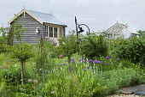 Standard gooseberry bushes, irises, Allium hollandicum 'Purple Sensation', view to shed and greenhouse