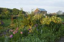 Standard gooesberry bush, Allium hollandicum 'Purple Sensation', view to shed