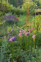 Young leeks in raised bed, Erysimum 'Bowles' Mauve', Geum 'Totally Tangerine', beehive compost, watering can, Allium hollandicum 'Purple Sensation'