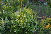 Symphytum orientale, Geum 'Totally Tangerine', shallots in raised bed, alliums