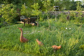 Terracotta duck ornaments, bird table and wooden wheelbarrow in long grass meadow, orchard