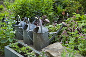 Old metal watering cans in border