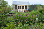 View across border to shed, wooden cart, Centranthus lecoqii