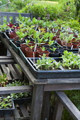Annual and vegetable seedlings in pots on table