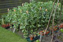 Broad bean 'Jubilee Hysor', terracotta cane top eye protectors