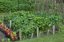 Strawberry 'Honeoye' in potager, peas, pea sticks