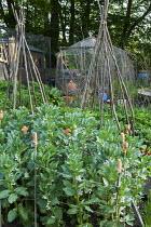 Broad bean 'Jubilee Hysor', terracotta cane top eye protectors, bean pole wigwams