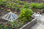 Raised beds in kitchen garden, parsley, marigolds, lettuces, strawberries, glass cloche, watering can