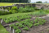 Potatoes in kitchen garden borders, bench, onions, dry-stone wall