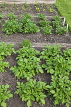 Potatoes in kitchen garden border