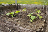 Pumpkins and squashes growing on compost heap