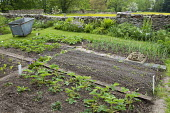 Strawberries, potatoes, Swiss chard seedlings and shallots in kitchen garden