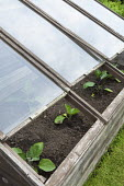 Cold frame, glass, young aubergines