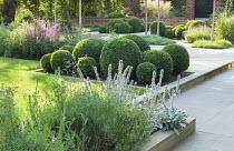 Cloud-pruned box ball border, Lavandula angustifolia 'Munstead', stachys