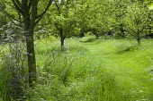 Mown path through long grass, wildflowers in orchard