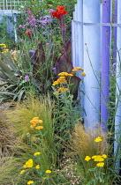 Canna 'Black Knight', Verbena bonariensis, Stipa tenuissima, achillea, blue and purple palisade screen