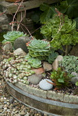 Succulents in old barrel container, sempervivum, echeveria, aeonium