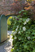 Hydrangea quercifolia by arch-topped gate in brick wall
