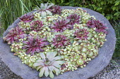 Sempervivums in large stone container
