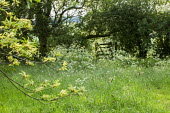 Cow parsley by gate, hedgerow