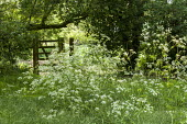 Cow parsley by gate