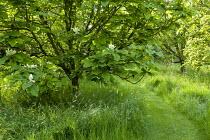 Magnolia, mown path through long grass meadow