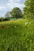 Wildflower meadow, naturalised daffodils and tulips