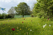 Wildflower meadow with naturalised tulips and daffodils, dragonfly kite ornament