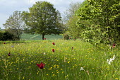 Wildflower meadow with naturalised tulips and daffodils