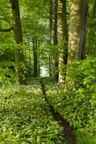Path through drifts of Wild Garlic, Allium ursinum, in woodland