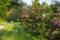 Syringa vulgaris, bench on lawn