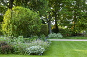Geraniums, aquilegias and Hosta 'Patriot' in border by yew hedge, lawn