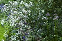 Anthriscus sylvestris 'Ravenswing', Allium 'Firmament'