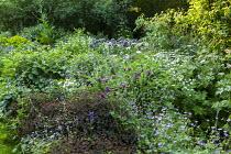 Cottage garden planting, aquilegia, geranium, alliums, euphorbia, peony