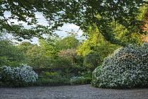 Driveway, choisya, wisteria