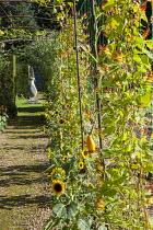 Ipomoea lobata syn. Quamoclit lobata, sunflowers, gourds