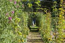 Ipomoea lobata syn. Quamoclit lobata, sunflowers, gourd tunnel