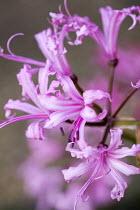 Nerine bowdenii 'Mollie Cowie'