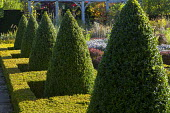Row of box pyramid topiary in low clipped box hedge