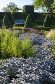View across 'river' of Purple sage to white metal bench, clipped box pyramids, yew hedge, drift