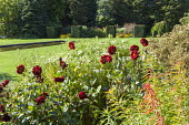 Dahlia in border, clipped yew cubes, rectangular pool in lawn