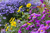 Aster, Heliopsis helianthoides var. scabra 'Waterperry Gold', Symphyotrichum novi-belgii 'Orlando' syn. aster