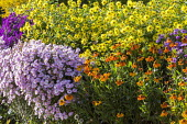 Helianthus 'Lemon Queen', Helenium 'Sahin's Early Flowerer', aster syn. symphyotrichum